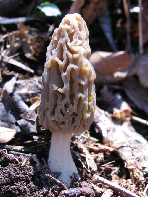 Young black morel (Photo by Jay Justice)