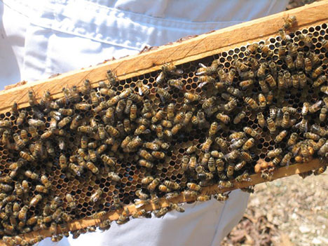 honey-bees-080820